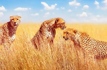 Group of cheetahs in the African savannah. Africa, Tanzania, Ser
