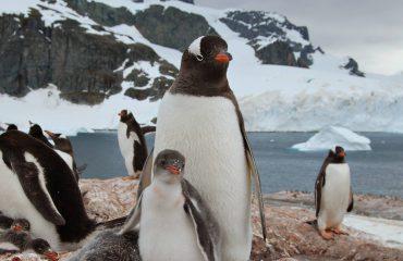 Gentoo Penguins - Cuverville