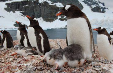 Gentoo Penguins -Cuverville1