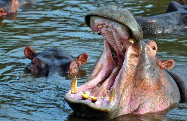 Hippo's gigantic open mouth. Serengeti National Park, Tanzania