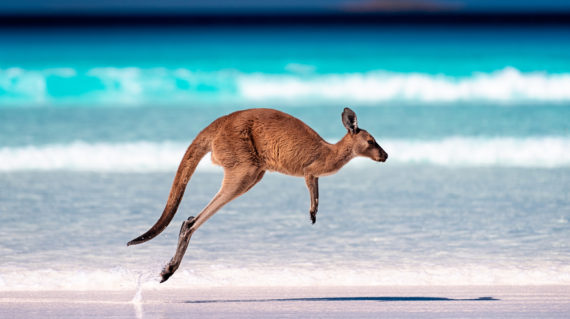 Kangaroo hopping / jumping mid air on sand near the surf on the