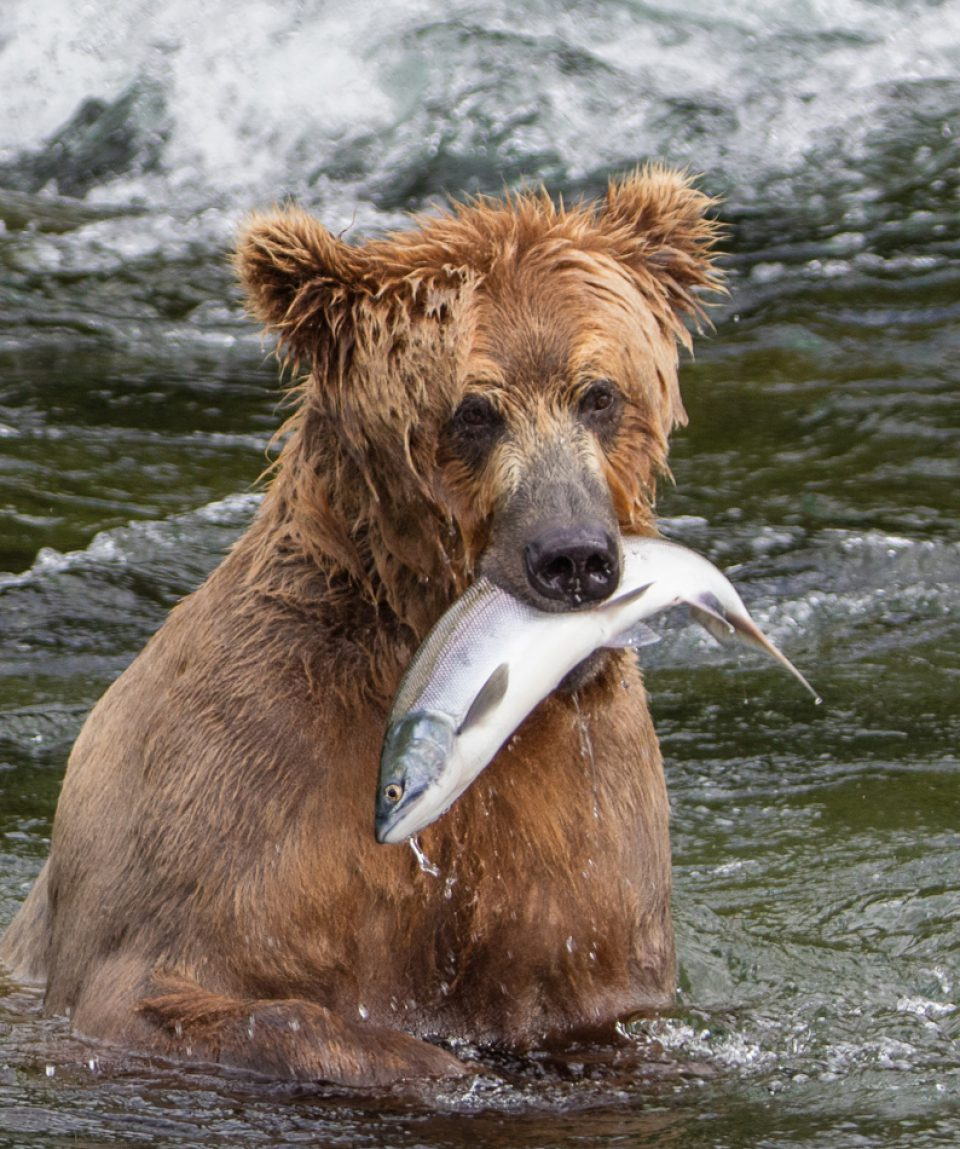 Big Brown Grizzly Bear with  Salmon Fish in its mouth