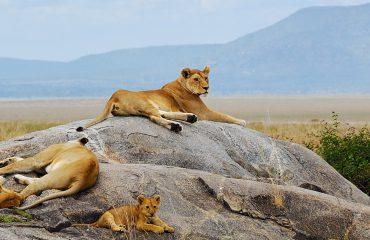 Lion pride in Serengeti, Tanzania, Africa