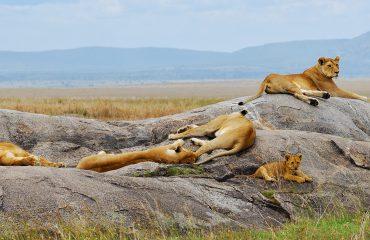 Lions pride in Serengeti, Tanzania, Africa