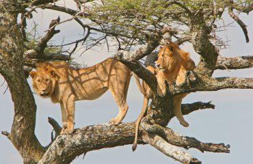 löwen sitzen auf baum - lions on tree