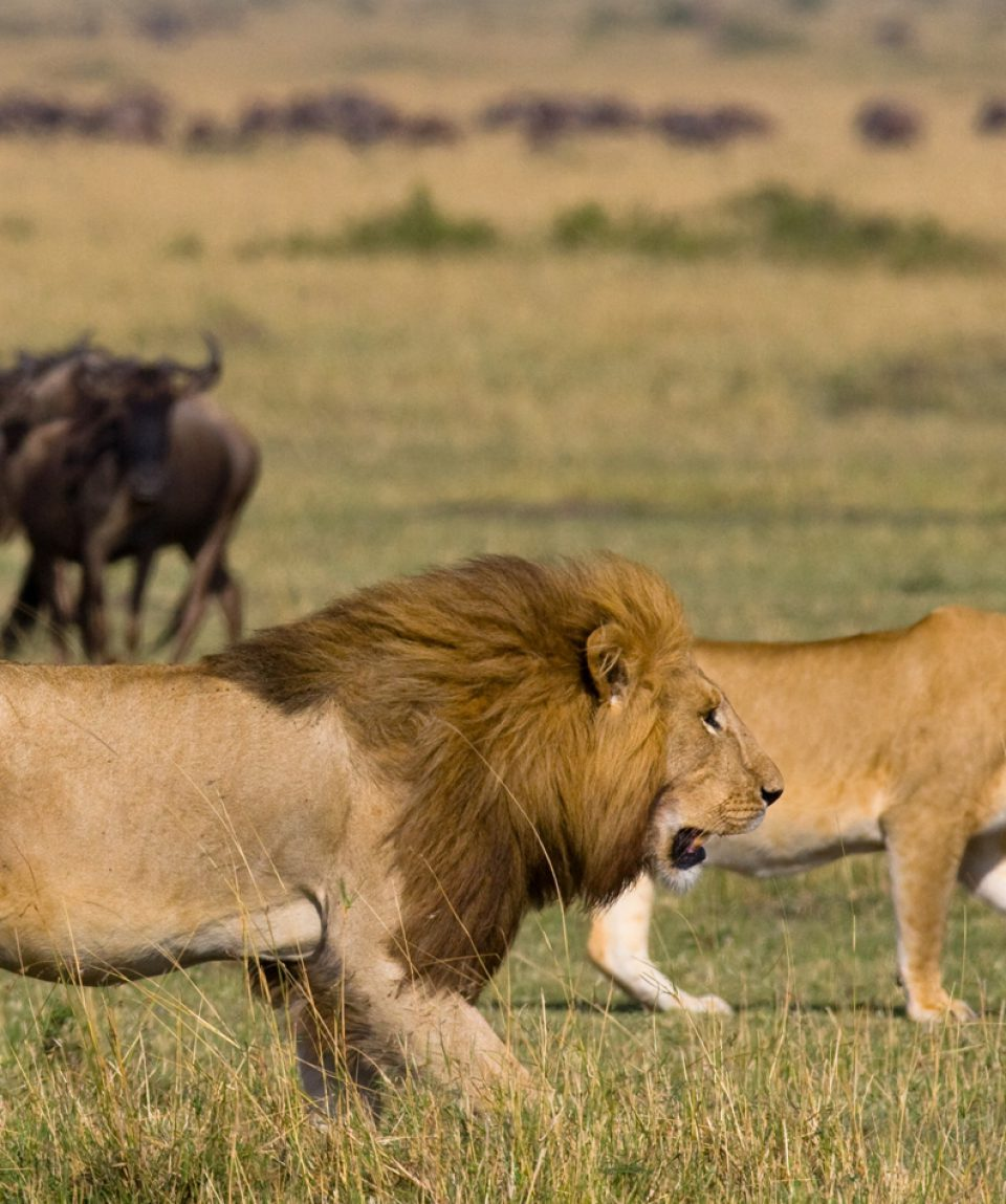 Meeting the lion and lioness in the savannah. National Park. Ken