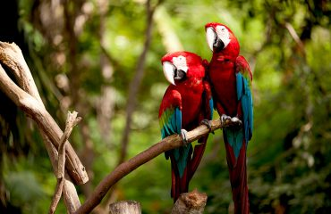 Pair of Scarlett Macaws