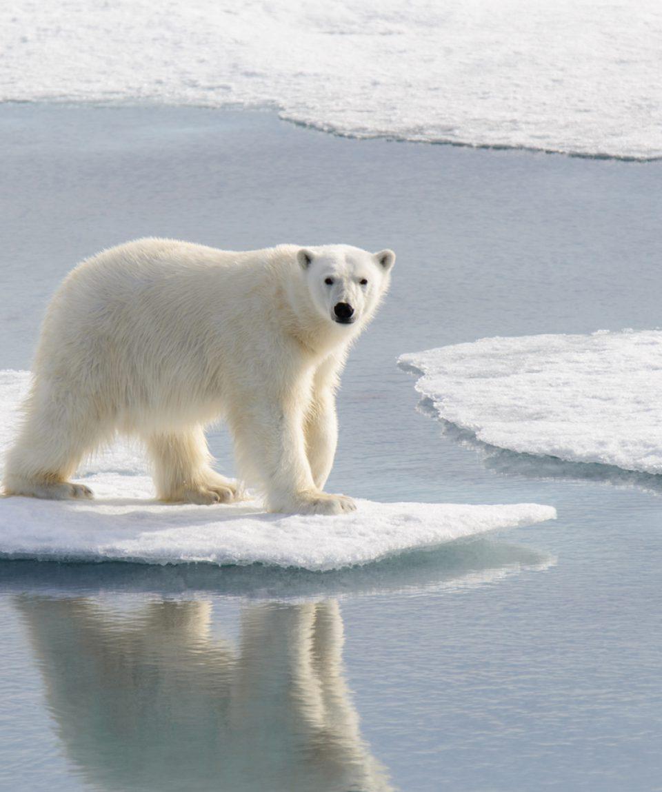Polar bear (Ursus maritimus) on the pack  ice north of Spitsberg