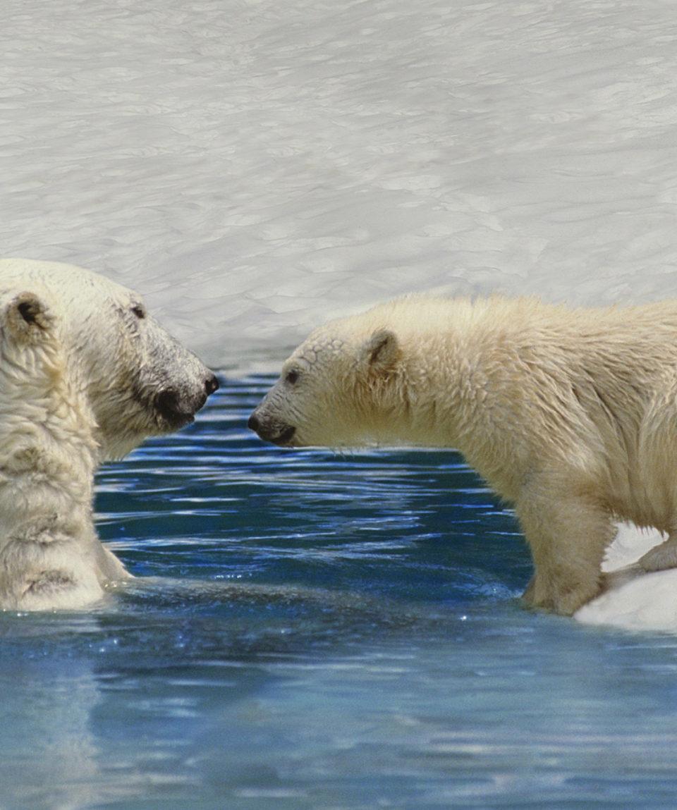 Polar Bear, thalarctos maritimus, Mother and Cub playing on Ice