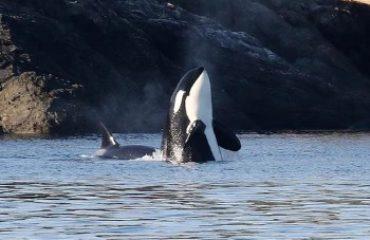 SPY HOPPING ORCA