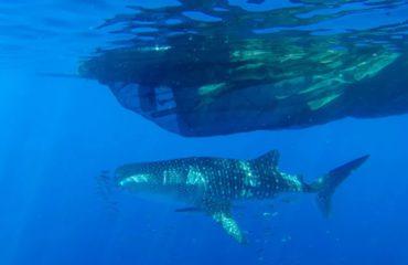 WHALE SHARK - Kwatisore, Cenderawasih Bay,