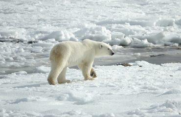 polar-bear-3775941_1920-1
