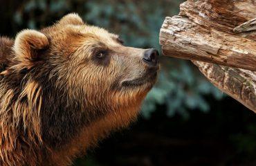 silversea-alaska-cruise-kodiak-island-brown-bear