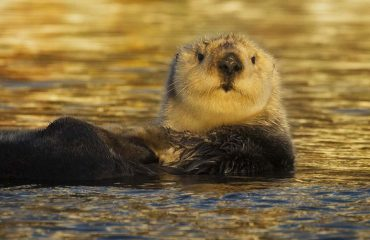 silversea-luxury-cruises-seward-sea-otter