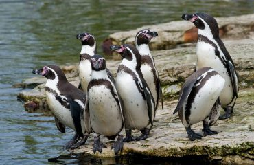 silversea-south-america-cruises-humboldt-penguins-isla-chanaral-chile