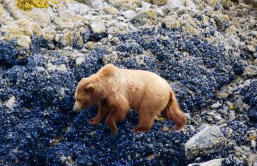 BROWN BEAR FORAGING ALONG SHORELINE