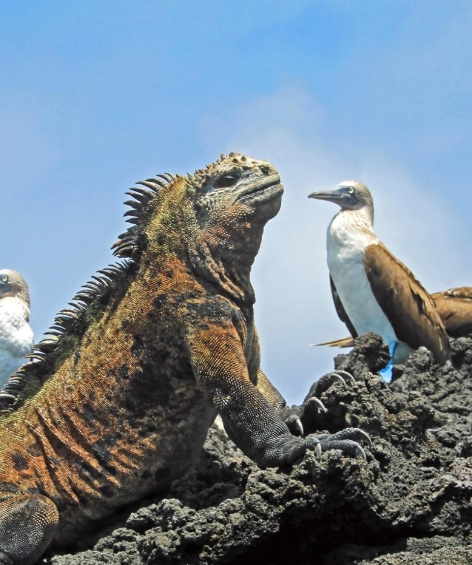 Marine iguana with blue footed boobies, booby, Sula nebouxii and Amblyrhynchus cristatus, on Isabela Island, Galapagos, Ecuador