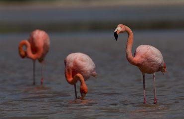 Galapagos-flamingo