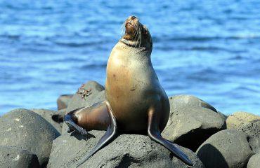 Lobo marino - Sea Lion