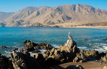 Pelican Isla Pan-de-Azucar-Chile2