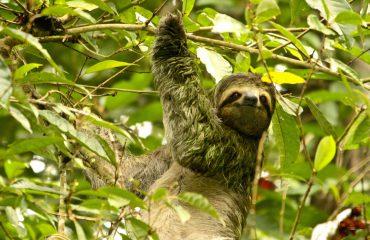 Quepos - Sloth