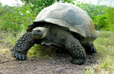 Tortugas Gigantes - Galápagos