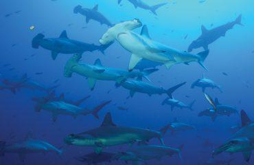 Western Galapagos - Hammerhead Sharks