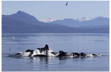 Humpback-Whale-bubble-feeding-700x467