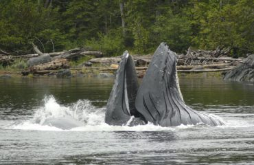 Humpback-lunge-feed