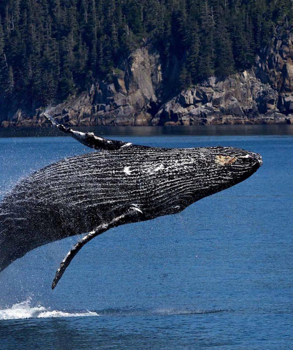 Breaching Humpback whale - 1425X950