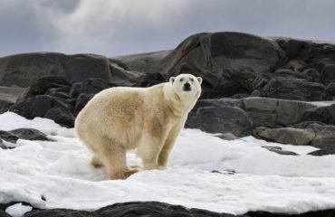 Polar Bear on land- 1425x950