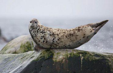 ecm-268126-spottedseal1-medvezhieisland
