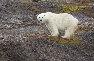 silversea-arctic-cruise-polar-bear