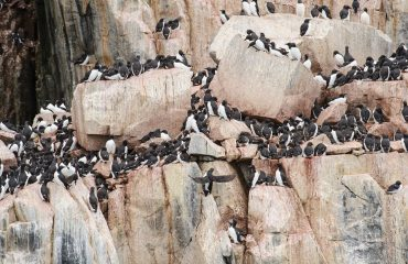 silversea-arctic-cruise-thick-billed-murres