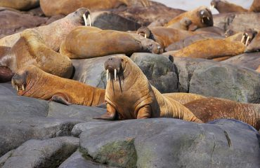 silversea-arctic-cruise-walrus-on-rock