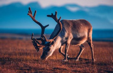 silversea-luxury-cruises-svalbard-nothern-region-norway-reindeer