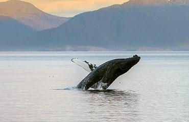 370x278-AK-Whale_breach_sunset_Frederick_Sound