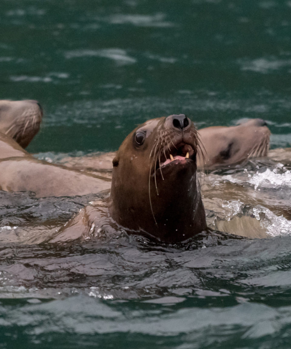 A group of Steller sea lions swimming off the coast of Alaska